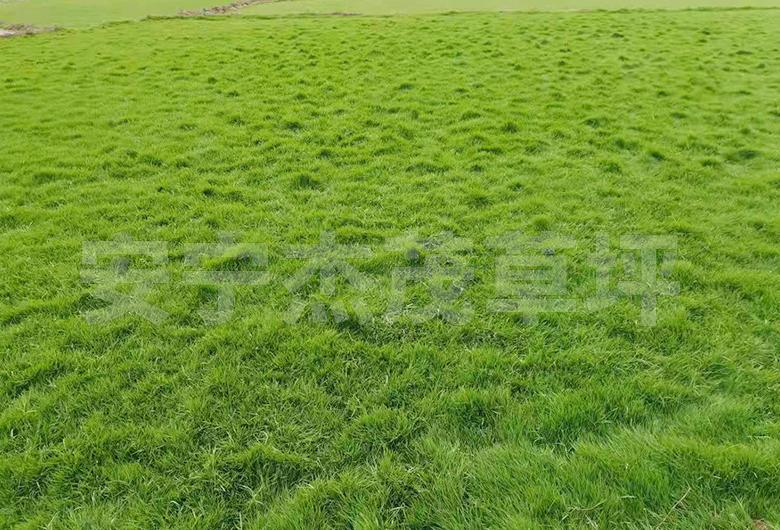 四季青草坪基地