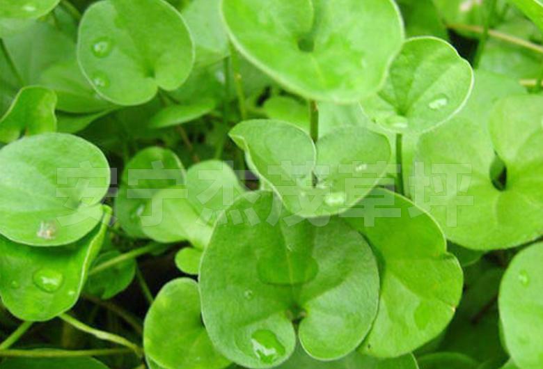 马蹄筋绿化草坪