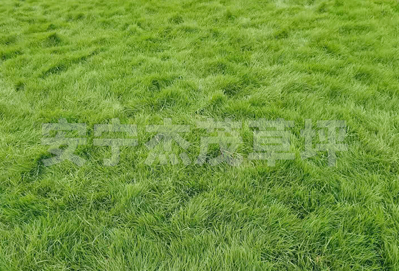 台湾2号草草坪