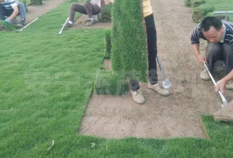 开远基地草坪直销