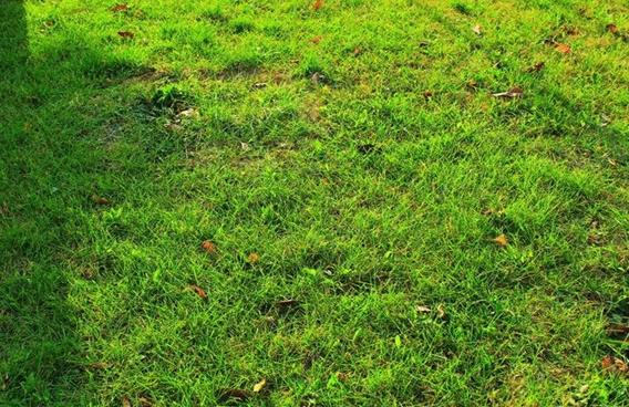 昆明混播草草坪