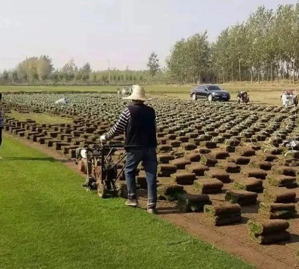 云南草坪厂家