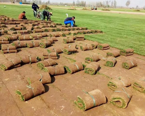 无土栽培马尼拉草坪技术有哪些优点?