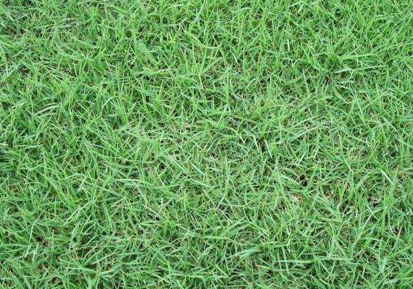 早春百慕大草坪如何安全除杂草?云南草坪生产厂家告诉你