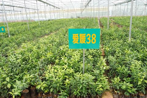 爱媛38号柑橘苗市场价格