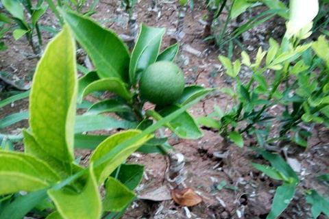 爱媛果苗种植技术