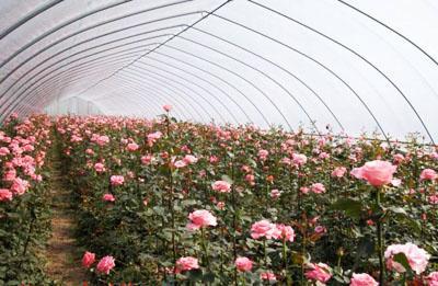 郑州花卉大棚在高温天气更要加强管理