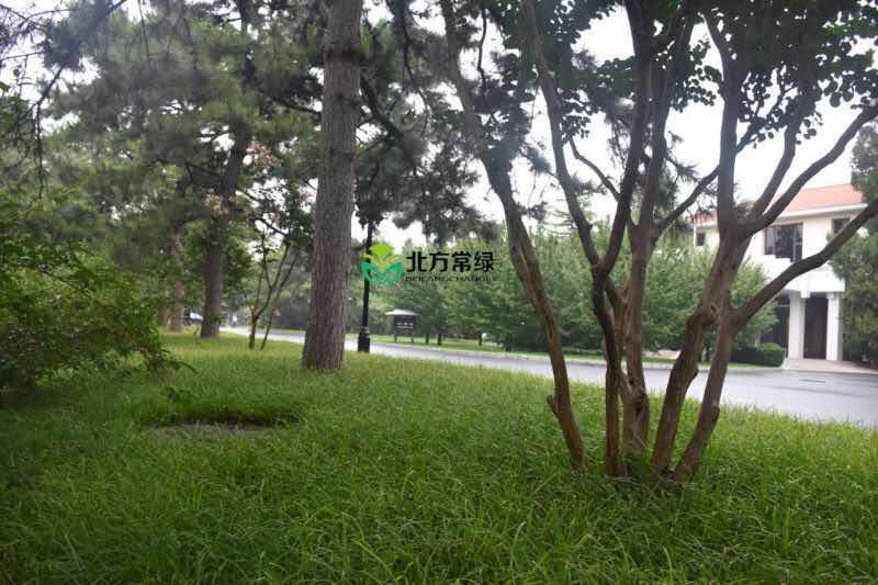 北京崂峪苔草基地