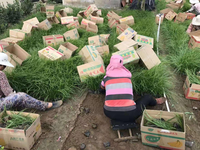 优质青绿苔草小苗种子批发出售