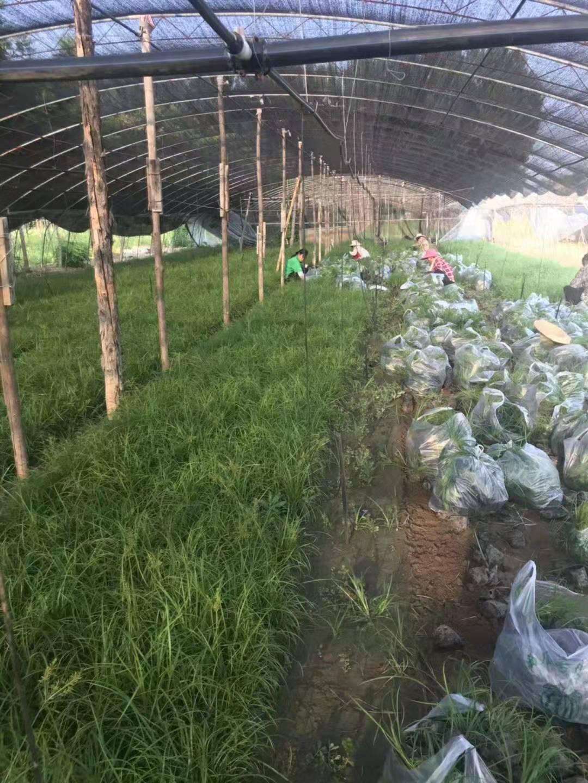 青绿苔草基地