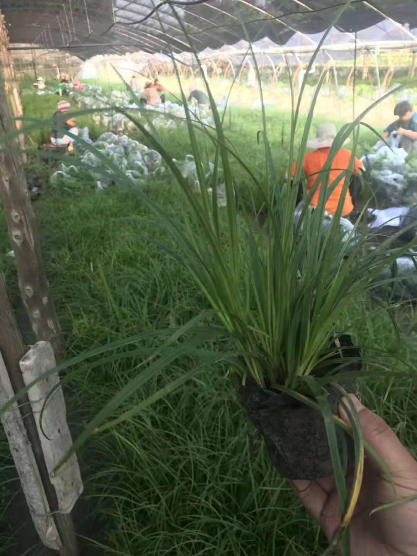 北方常绿大量青绿苔草小苗供应