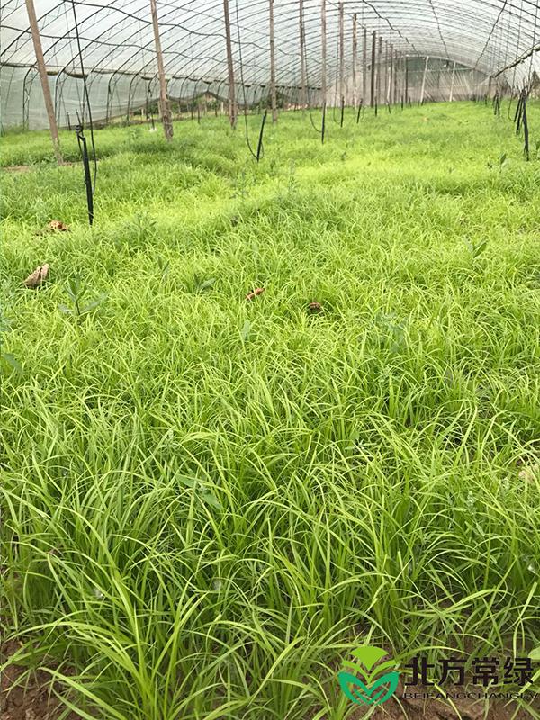 青绿苔草种子发芽率如何提高?