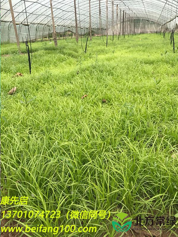 青绿苔草介绍之饲用价值