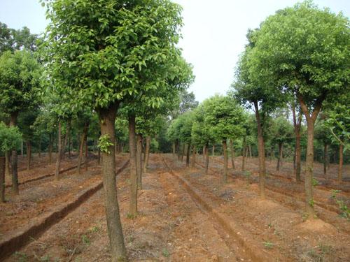 香樟树原木