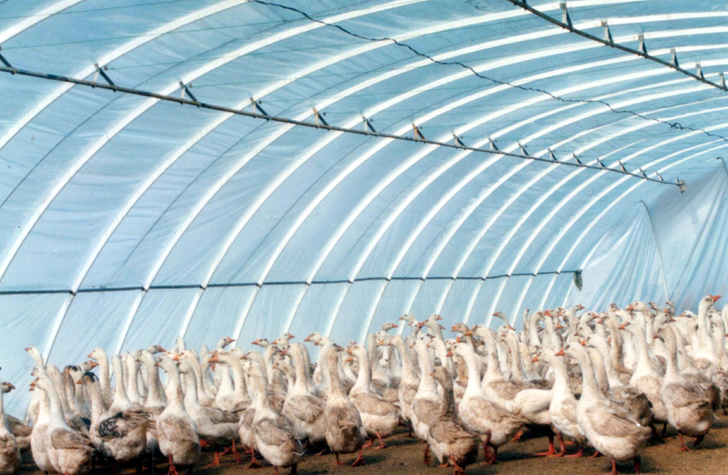 咸阳百益禽业养鸭基地养殖大棚建设案例
