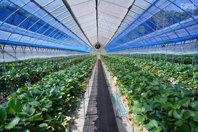 陕西草莓种植大棚