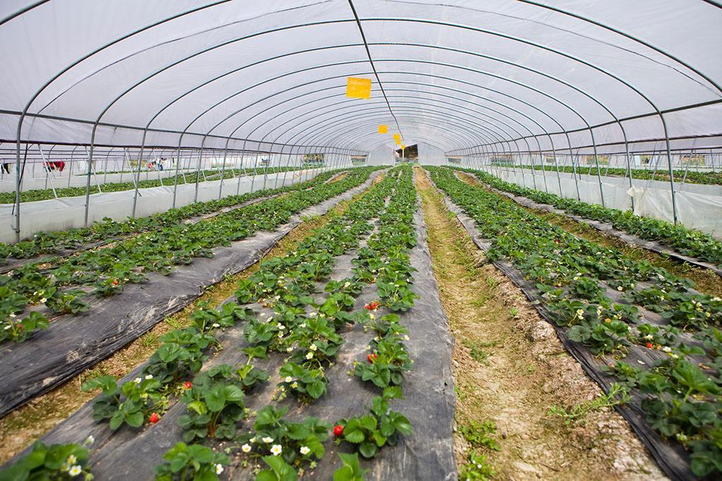 奶油草莓温室大棚