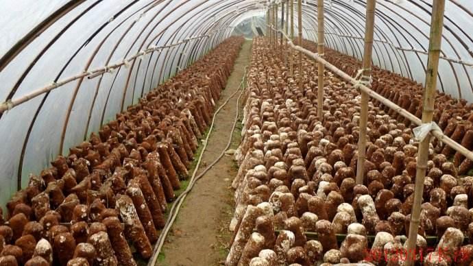 蘑菇温室大棚