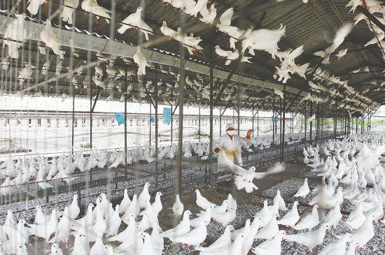西安鸽子养殖大棚