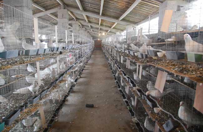 鸽子养殖大棚