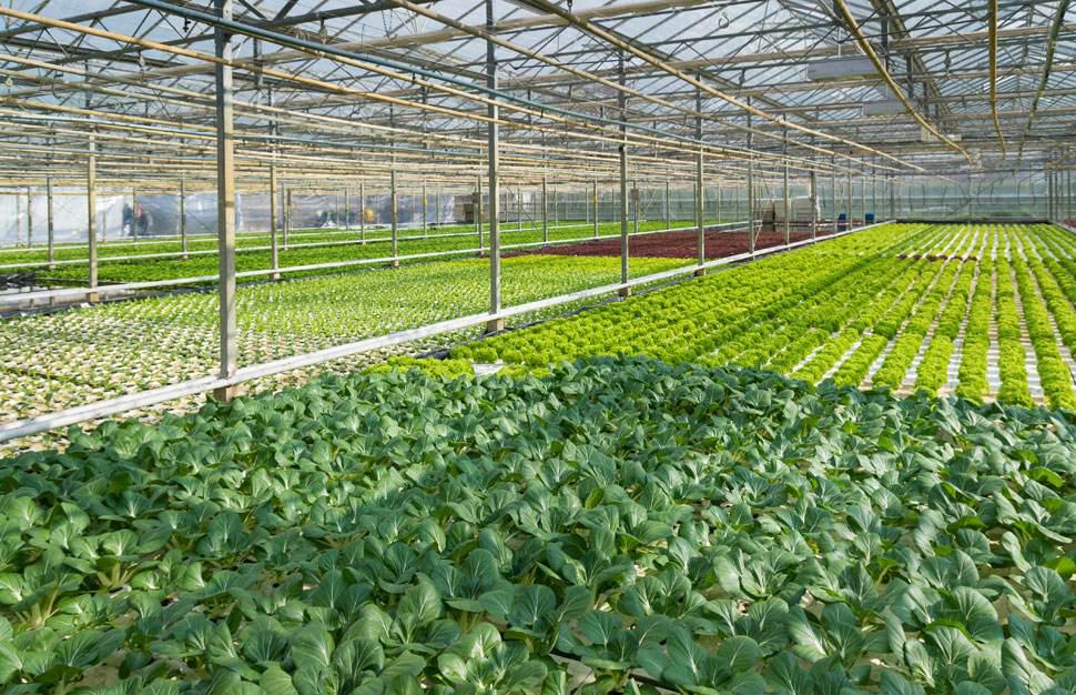 蔬菜大棚在种植中的常见的生理病害及防治方法