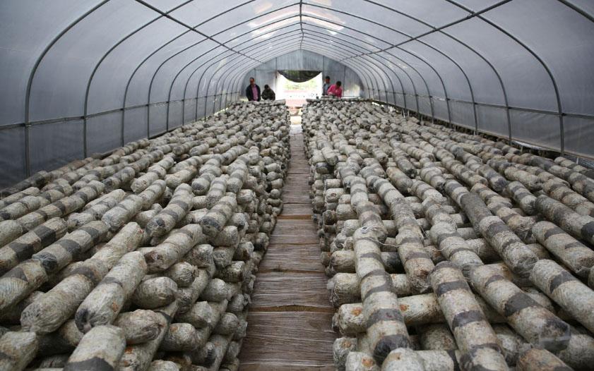 香菇温室大棚