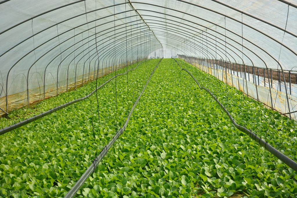 溫室大棚中的小黃瓜如何變直有技巧