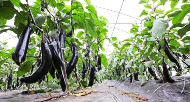 关于冬季蔬菜温室大棚施肥的十个方法