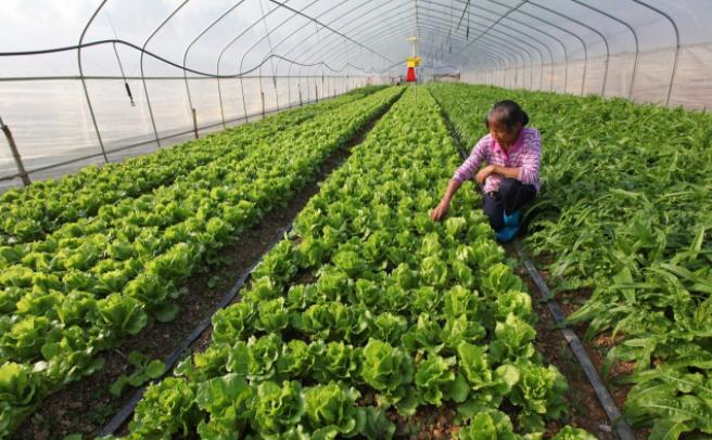 蔬菜温室大棚的三个通风技巧