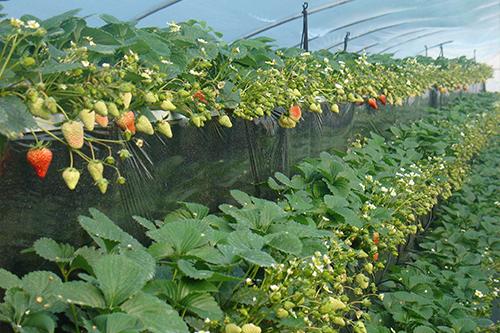 咸阳草莓温室大棚
