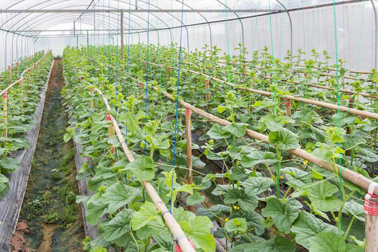 关于蔬菜温室大棚除湿的方法,你知道哪些?