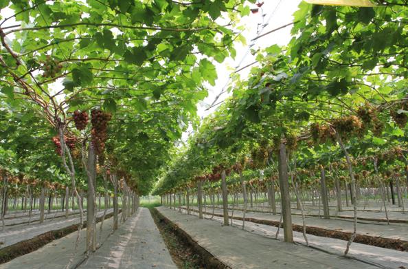 葡萄温室大棚建设的重要体现有哪些?
