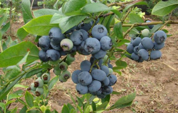 蓝莓温室大棚