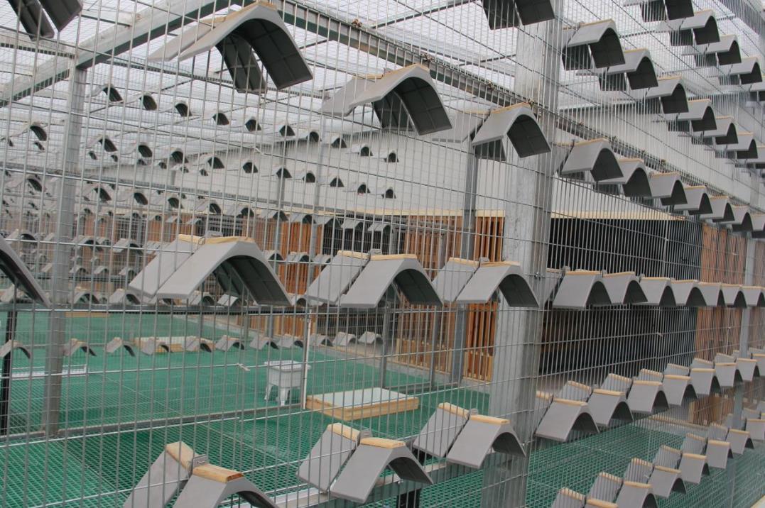鸽子养殖温室大棚的养殖条件都有哪些呢?