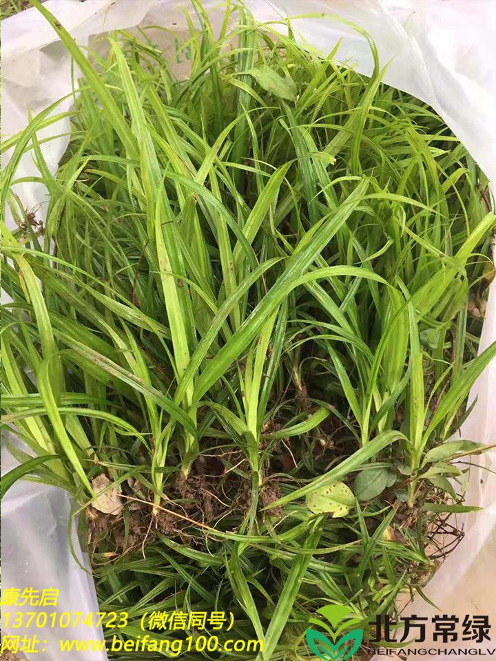 崂峪苔草种子