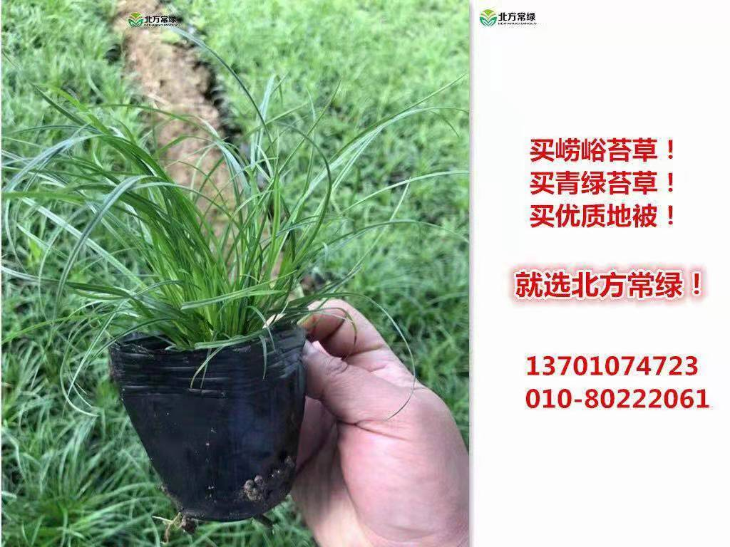 崂峪苔草价格是多少?