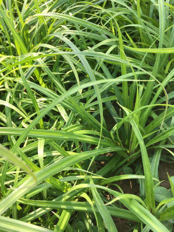崂峪苔草小苗