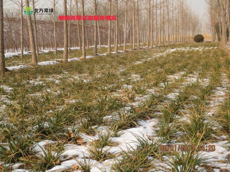 崂峪苔草过冬