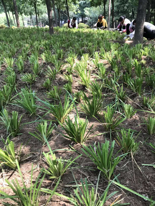 崂峪苔草种植