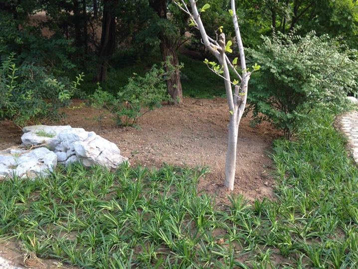 崂峪苔草种植图片