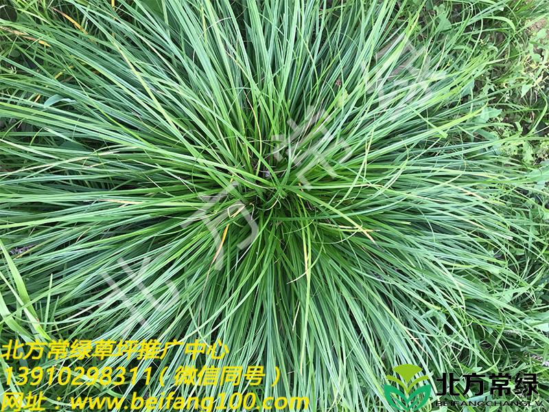 苔草的种类及优势介绍