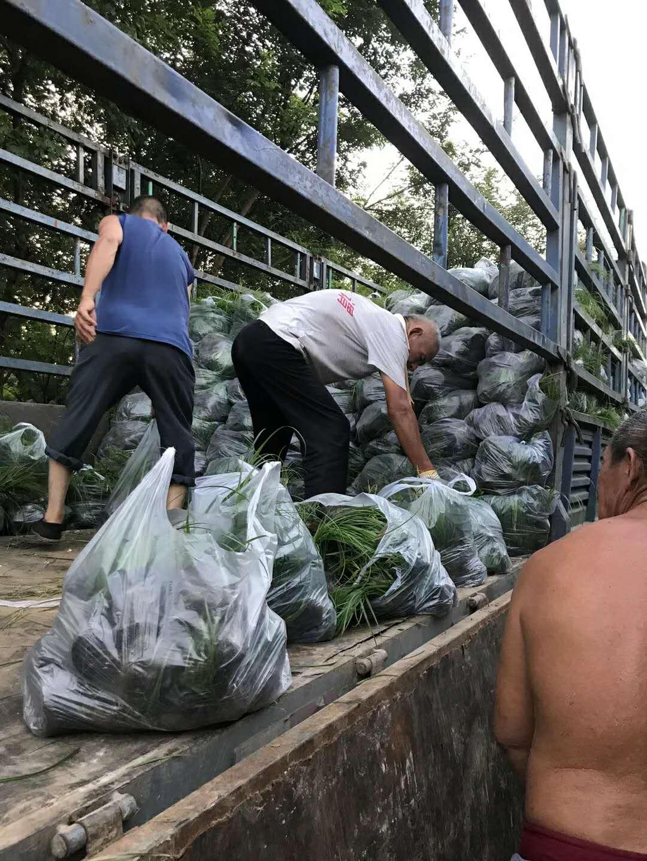 青绿苔草装袋