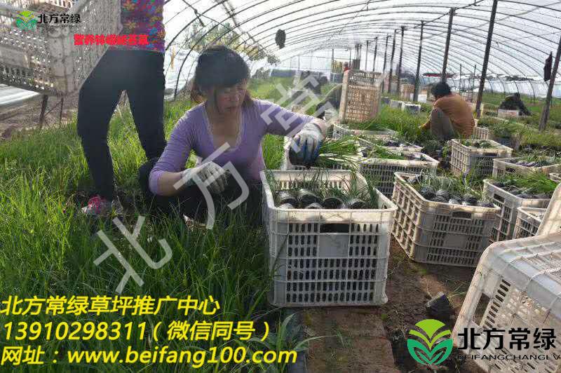 北京崂峪苔草供应商,货源充足!