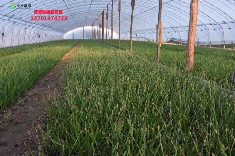 崂峪苔草批发推荐北方常绿草坪