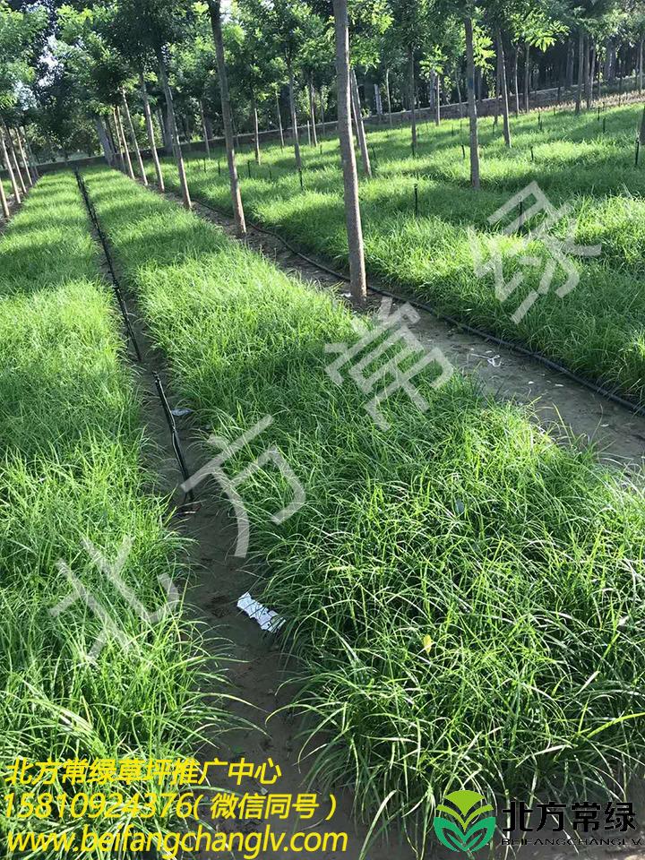 青綠苔草營養缽苗供應商推薦