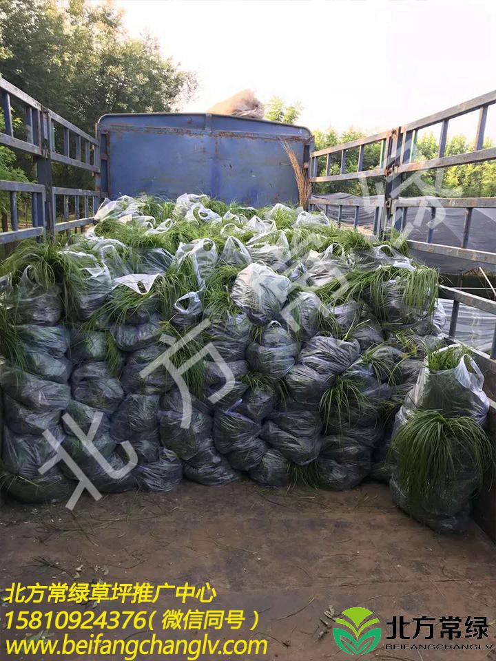 青绿苔草价格2020年是多少?