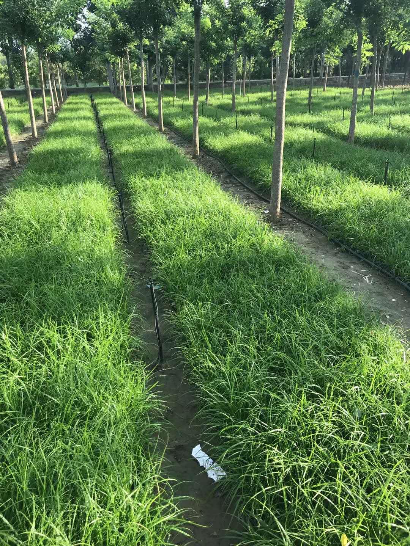 青綠苔草基地營養缽苗供應,現場起苗!