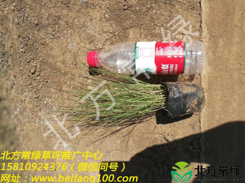 野牛草基地营养钵苗供应-北京通州发货