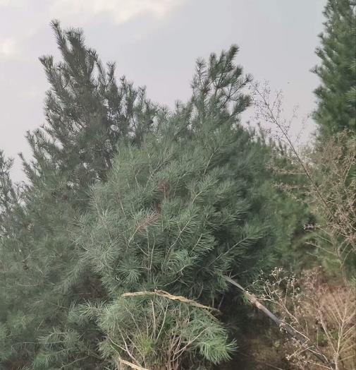 1米白皮松苗木
