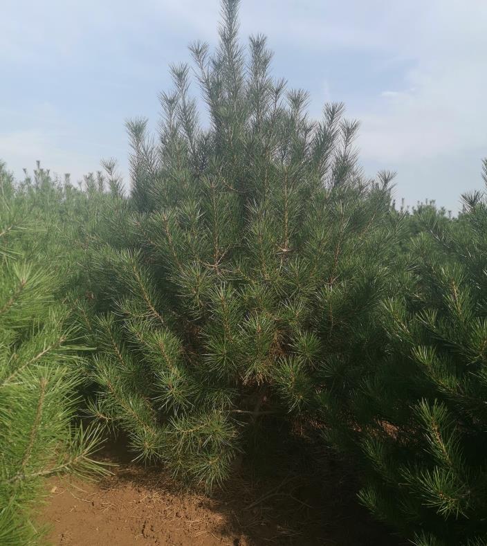3米高白皮松苗木